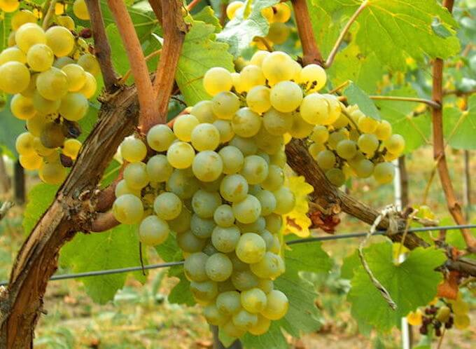 chardonnay-grape