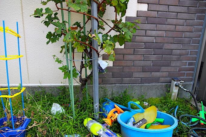 子どもが育てている葡萄の樹