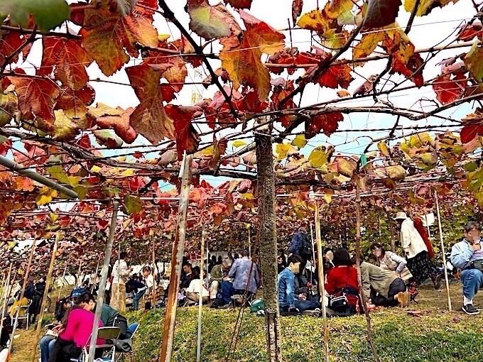 葡萄畑の中でピクニック