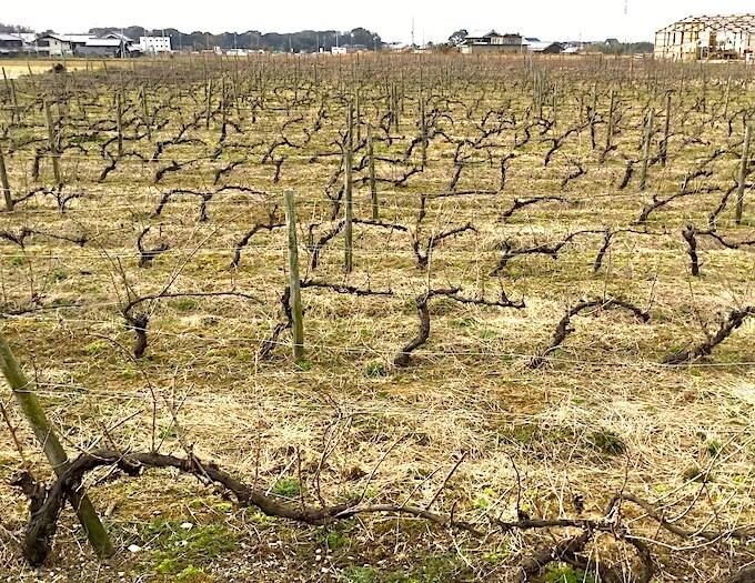 播州葡萄園跡地で栽培されている葡萄の樹