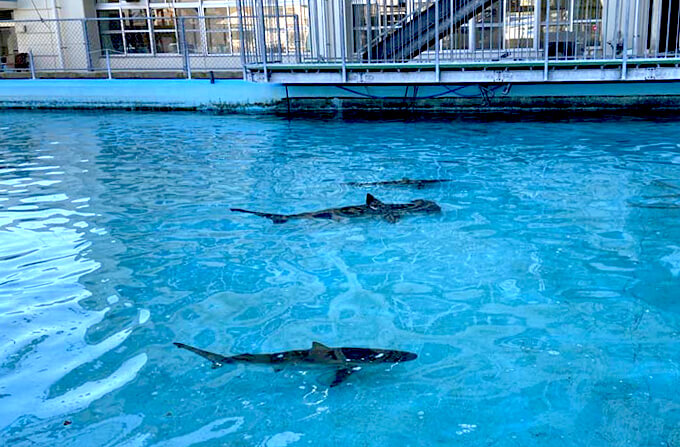 むろと廃校水族館のプールで泳ぐサメ