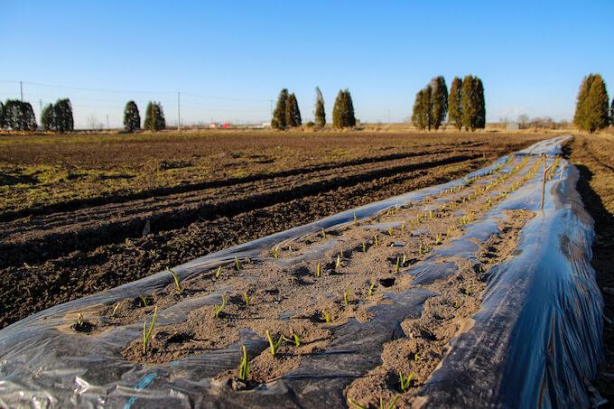 畑に植えられた野菜