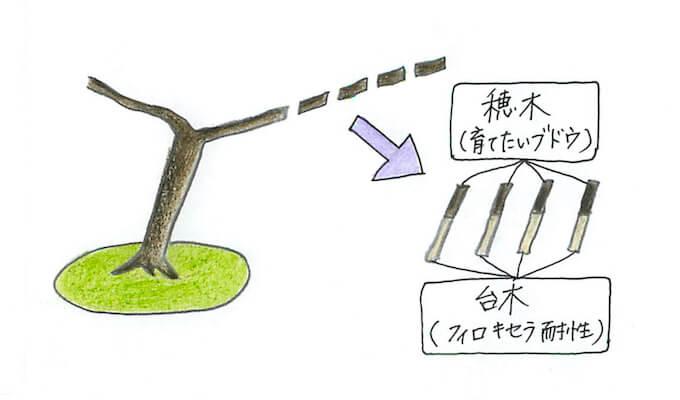 ブドウ接ぎ木のイラスト
